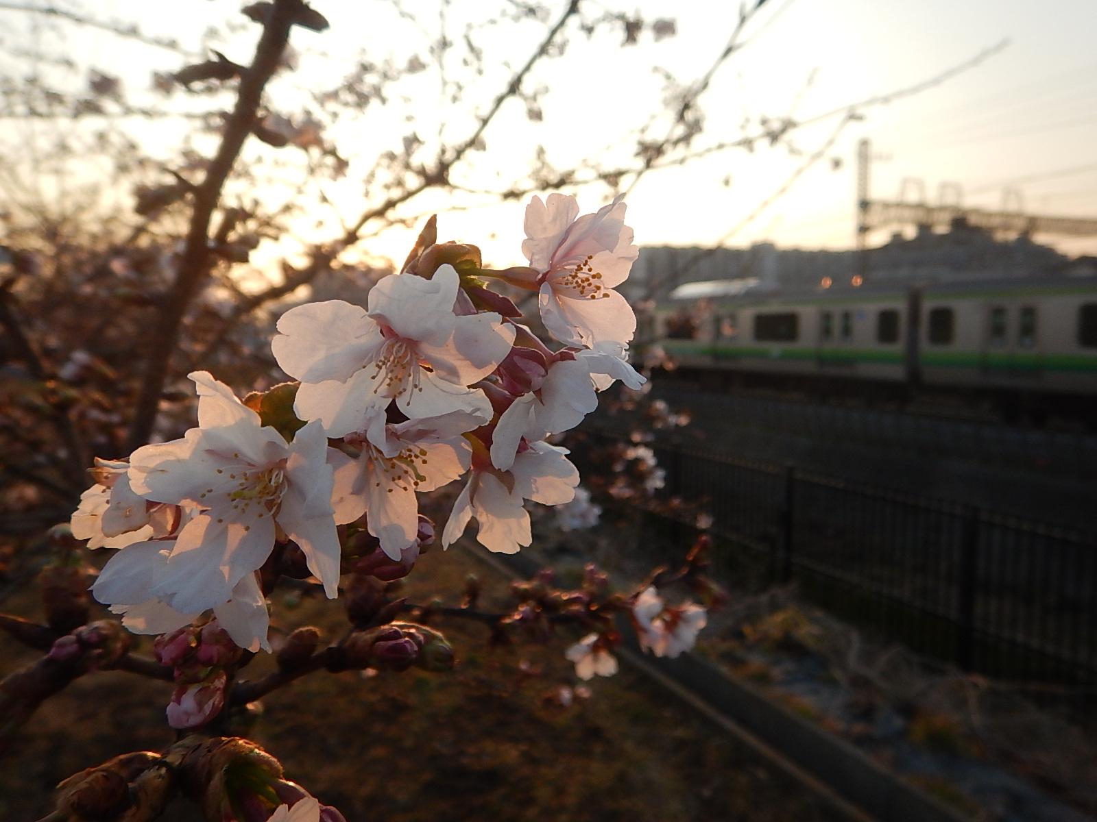 玉縄桜が咲き始めていたよ!!