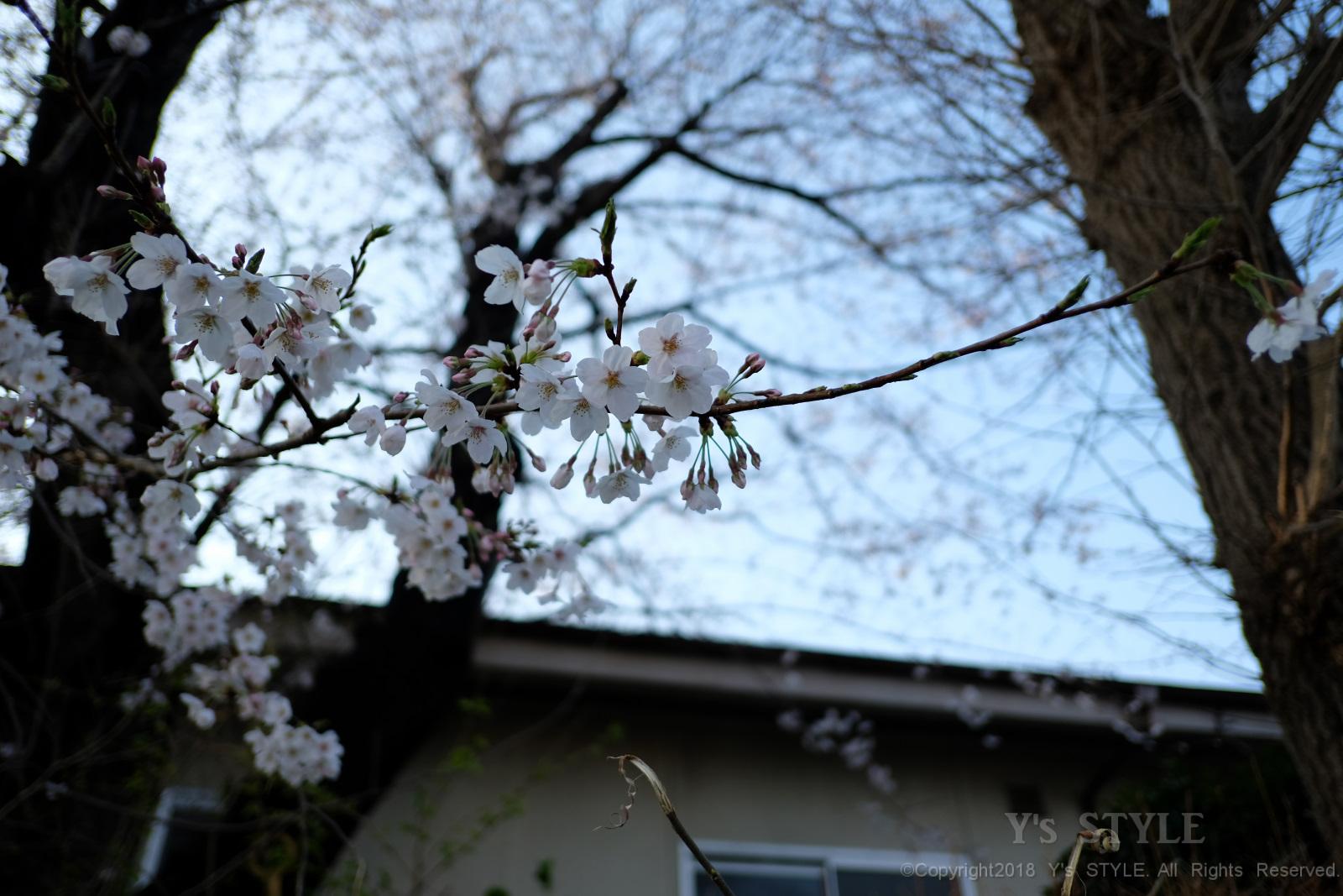 横浜 大池公園に花見に行ってきました。
